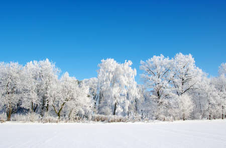 Frosted trees against a blue sky photo