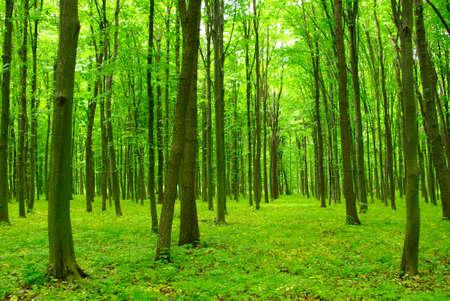 Bomen in een groen bos in de lente