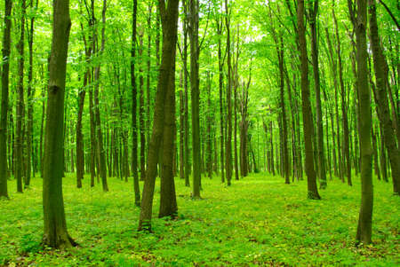 green forest: Trees in a green forest in spring Stock Photo