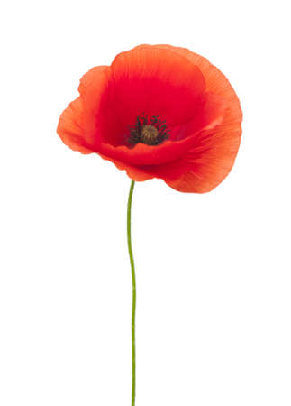 poppy flower: red poppy isolated on white