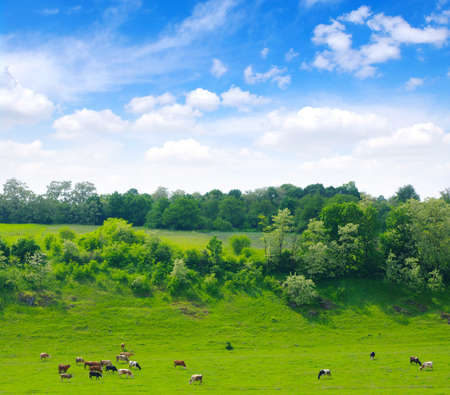 beef cattle: Cows on the green meadow  Stock Photo