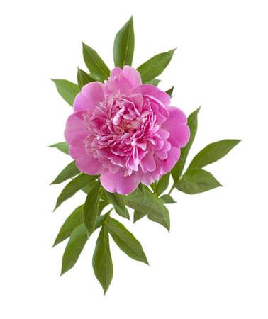 roze pioen bloem op een witte