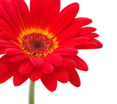 gerber daisy: red gerbera flower isolated on white background