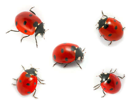 Collection of ladybugs isolated on white  Stock Photo