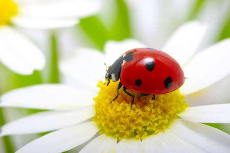 flower ladybug: ladybug sits on a flower petal
