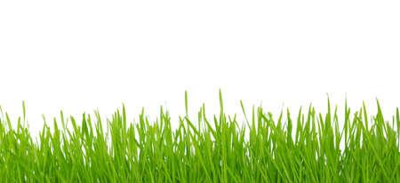 blade of grass: green grass on white background