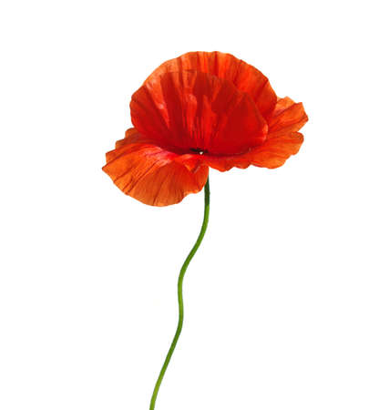 poppy flower: red poppies isolated on white