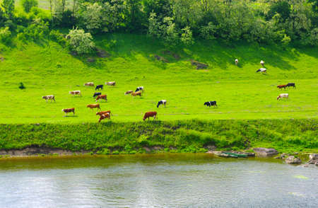 grazing land: Cows on the green meadow  Stock Photo