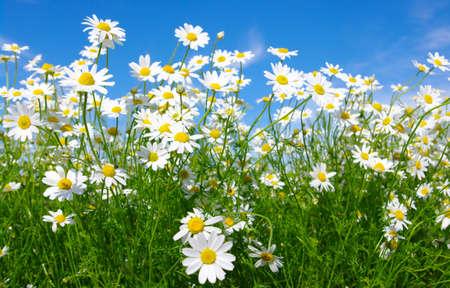 campo de margaritas: margaritas blancas sobre fondo de cielo azul