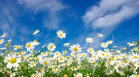 marguerites blanches sur fond de ciel bleu