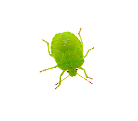 Green shield bug species Palomena prasina on white Stock Photo - 19165974