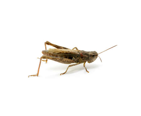 grasshopper isolated on white background photo