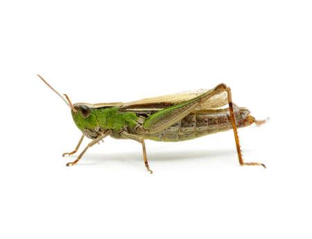 grasshopper: grasshopper isolated on white background Stock Photo