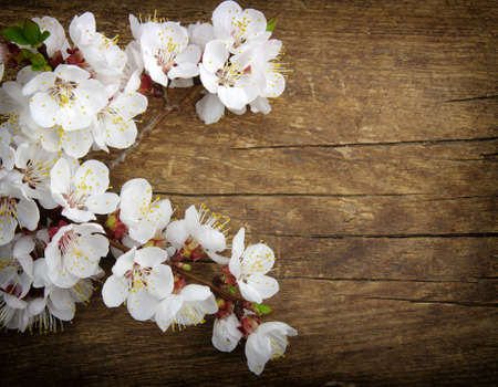 apricot tree: Spring blossom on wood background