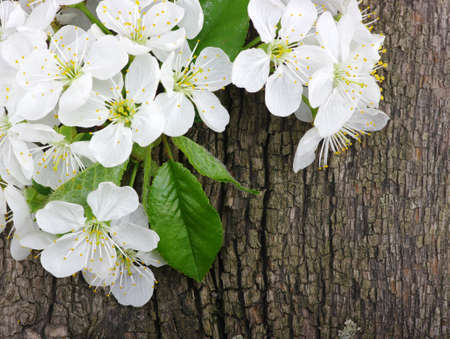 Spring blossom on wood background  photo