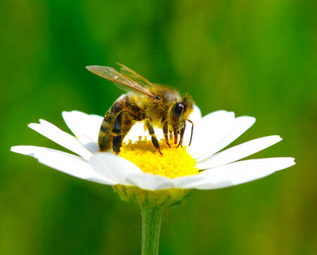 Bee on the chamomile flower