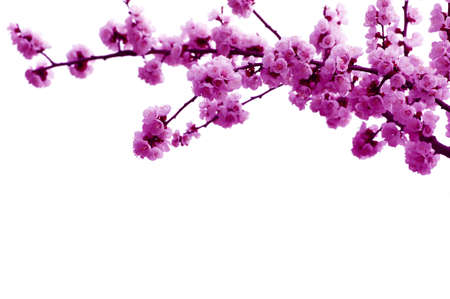 Branch with pink blossoms isolated on white  photo