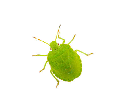 Green shield bug species Palomena prasina on white Stock Photo - 19868165