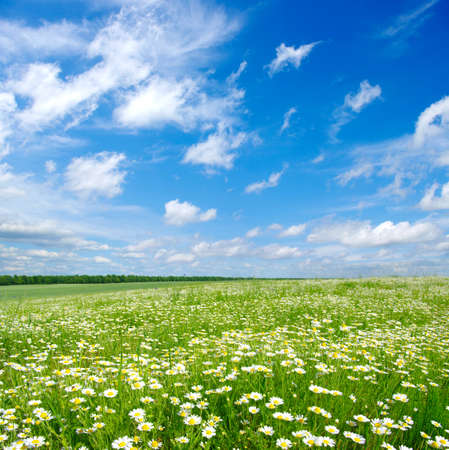 meadow: field of camomiles and blue cloudy sky Stock Photo