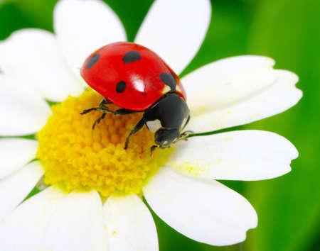 white daisy: ladybug sits on a flower