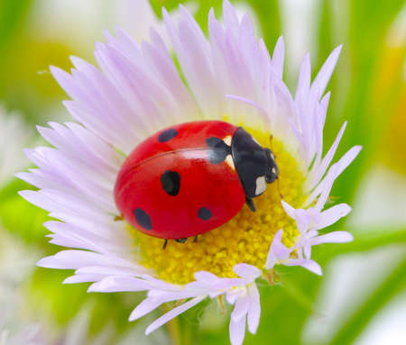 ladybug sits on a flower petal photo