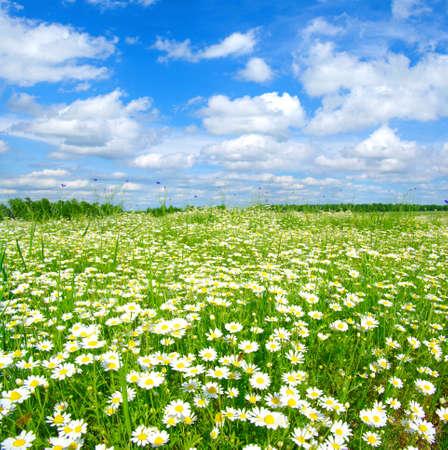 camomiles와 푸른 흐린 하늘의 필드