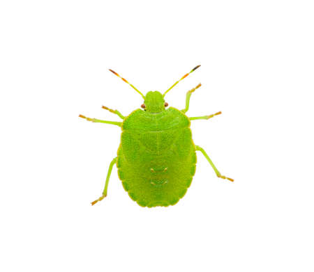 palomena: Green shield bug species Palomena prasina on white
