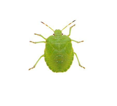palomena prasina: Green shield bug species Palomena prasina on white