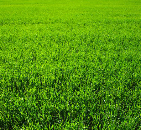 grass field: Background of a green grass. Texture green lawn Stock Photo