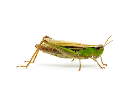 grasshopper isolated on white background Stock Photo