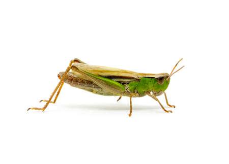 feeler: grasshopper isolated on white background Stock Photo