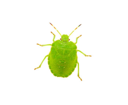pentatomidae: Green shield bug species Palomena prasina on white