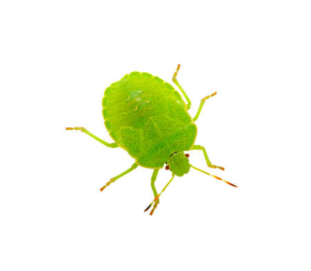 prasina: Green shield bug species Palomena prasina on white