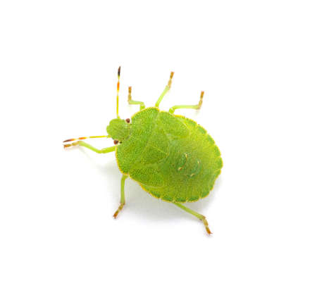 green shield bug: Green shield bug species Palomena prasina on white