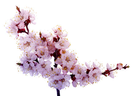 peach tree: Branch with pink blossoms isolated on white  Stock Photo