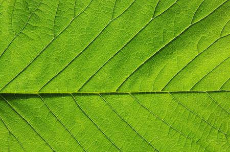 green leaf: close up of green leaf texture