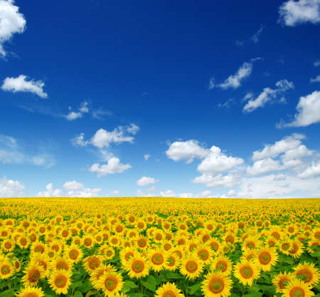sunflowers field on cloudy blue sky   photo