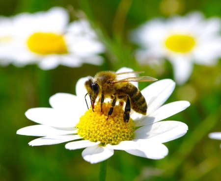 カモミールの花に蜂 写真素材
