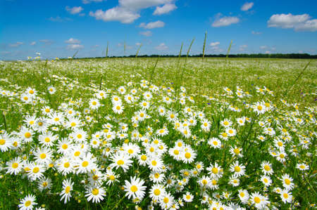 white daisy: field of camomiles and blue cloudy sky Stock Photo