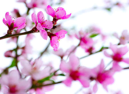apple blossom: Branch with pink blossoms isolated on white  Stock Photo