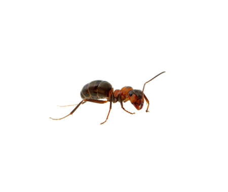 Ant isolated on white  Stock Photo