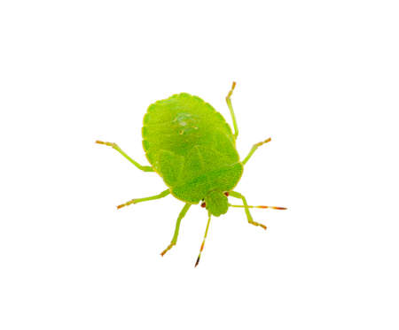 green shield bug: Green shield bug species Palomena prasina on white