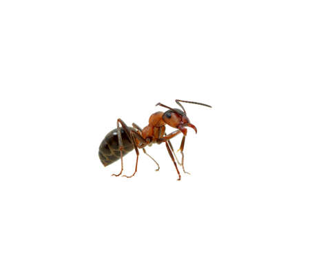 Ant isolated on white background photo