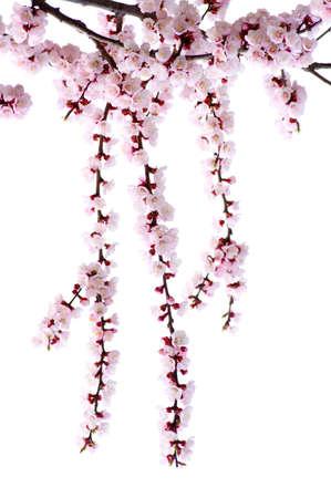 Direction de fleurs roses isolées sur blanc Banque d'images