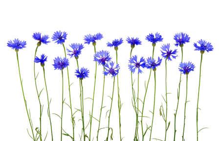 白い背景の青いヤグルマギク 写真素材