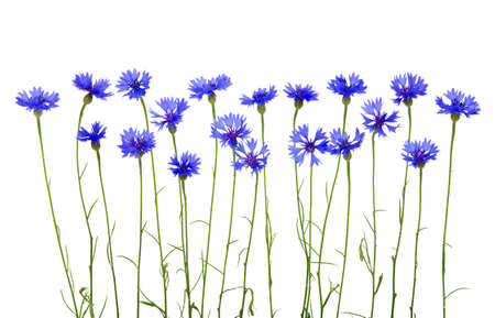 cornflower: blue cornflowers on white background