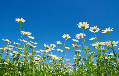 white daisies on blue sky  Stock Photo
