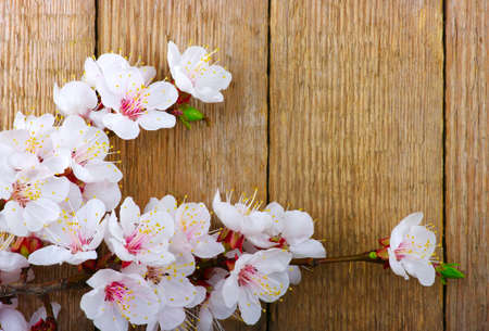 apricot tree: Spring  flower on wood background