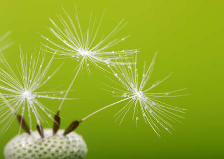 Abstract macro photo of dandelion seeds with water drops photo