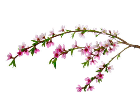 Branch with pink blossoms isolated on white  Stock Photo